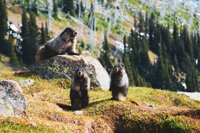 Petite famille de marmottes dans le parc de Garibaldi